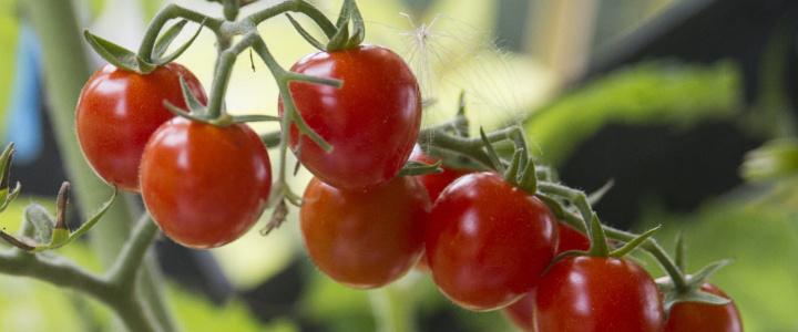 Currant tomatoes czyli pomidory porzeczkowe