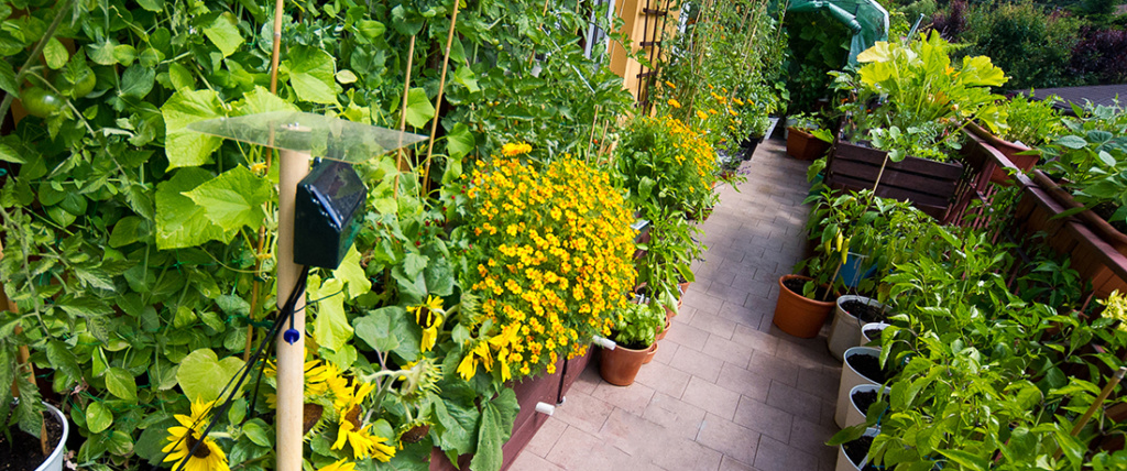 przedstawiam balkonowy warzywnik