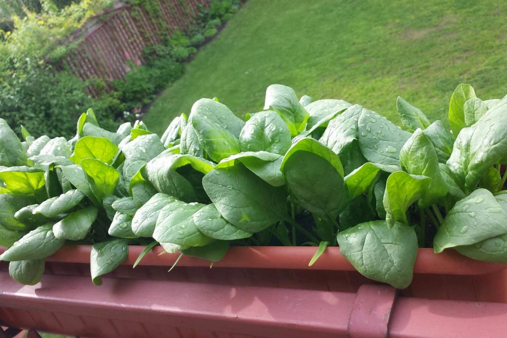 warzywa na balkonie-szpinak