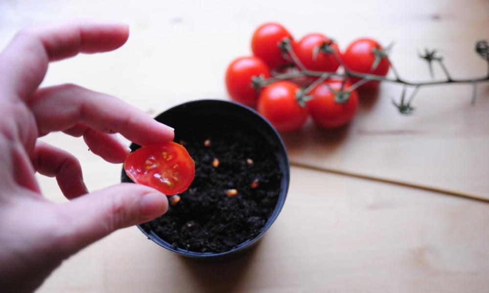 jak zrobić rozsadę pomidorów