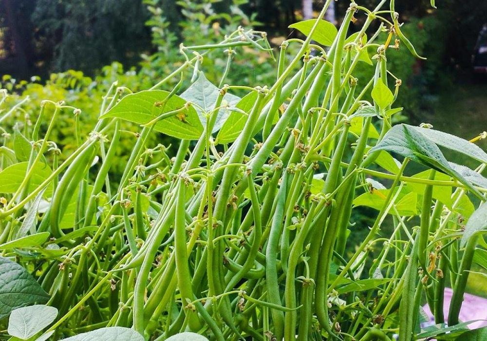 fasolka szparagowa w skrzynce