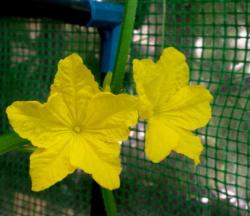 Kwiat Mauritiusa