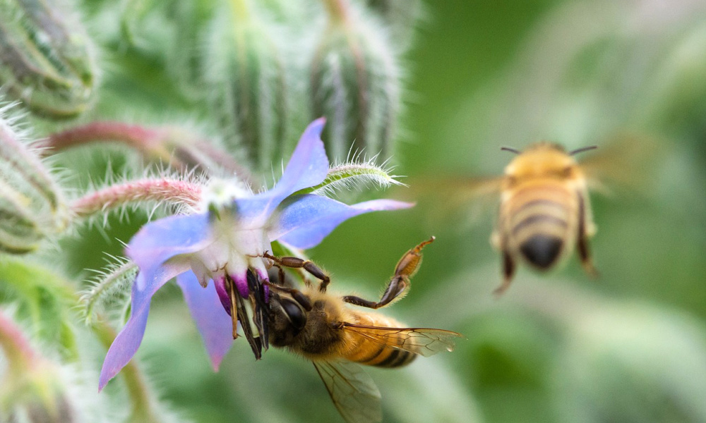ogórecznik wabi pszczoły