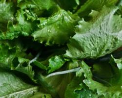 Lettuce-792059_1920
