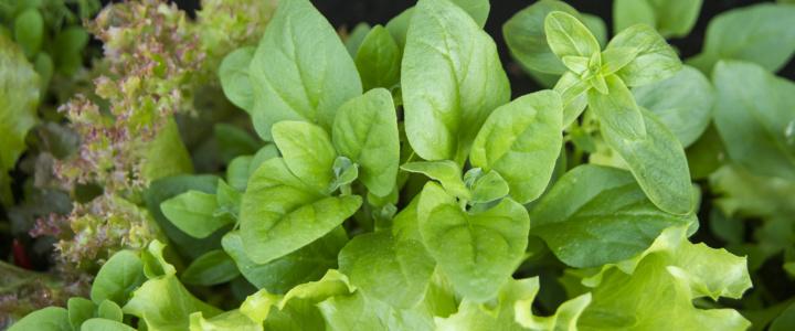 Sałaty i inne liście- uprawy pojemnikowe