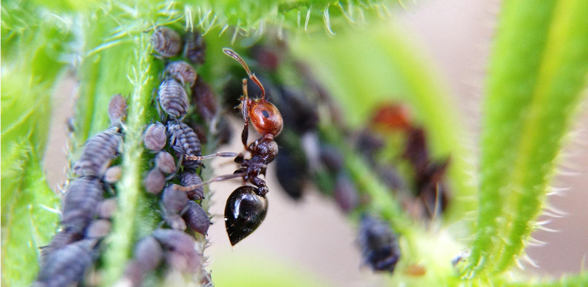 mrówki i mszyce