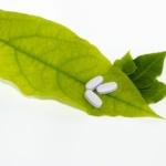 aspiryna w ogrodzie