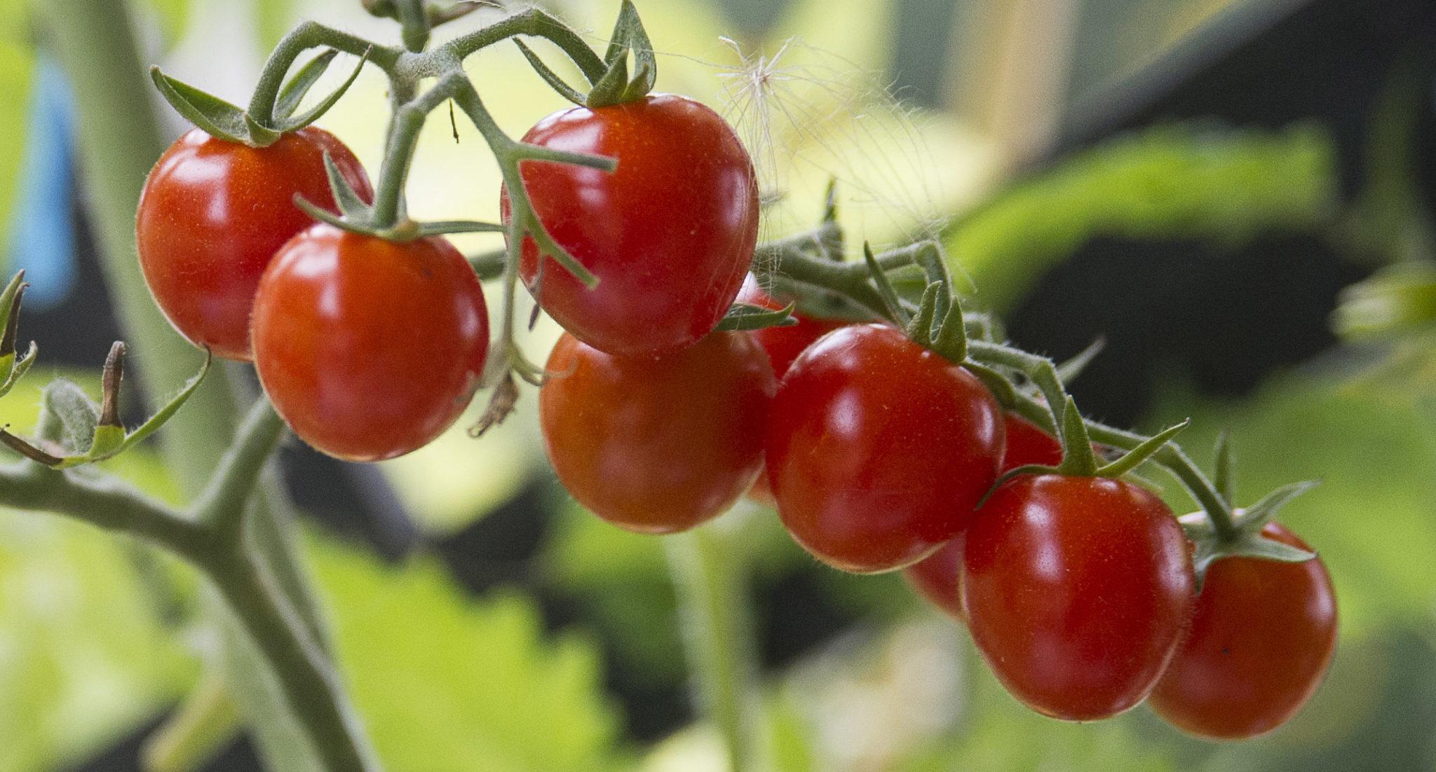 pomidorki porzeczkowe