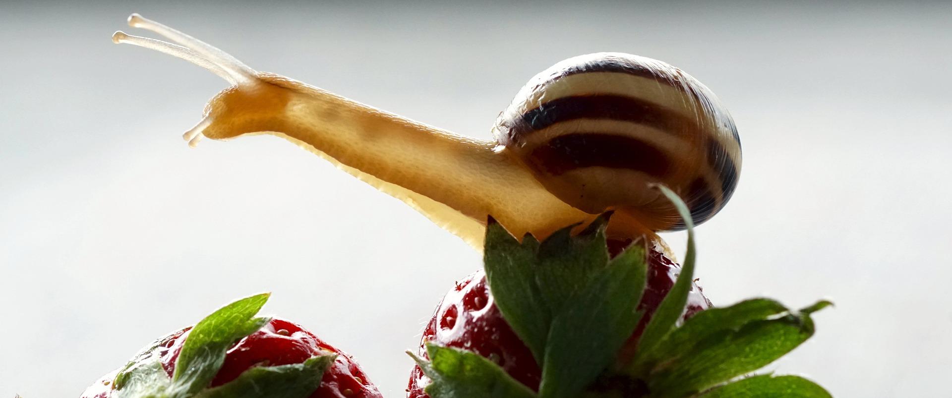ślimaki na truskawkach