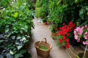 balkonowy warzywnik w lipcu