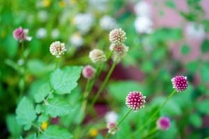 czosneczek-taras w czerwcu