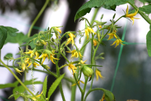 pomidor megagron