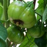 niedobory u pomidorów