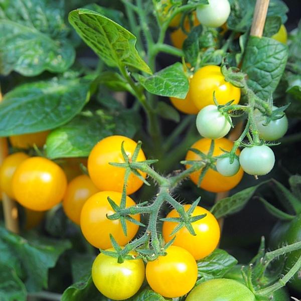 pomidor Venus