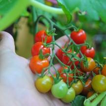 pomidor Winogronek