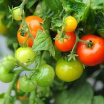 pomidor Minibell