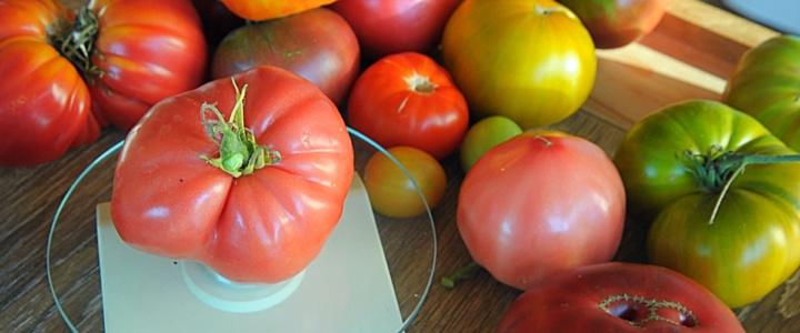 pomidorowe żniwa