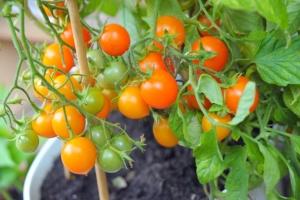pomidor Pendulina Orange
