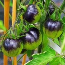pomidor Blue Gold