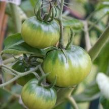 pomidor-synyj