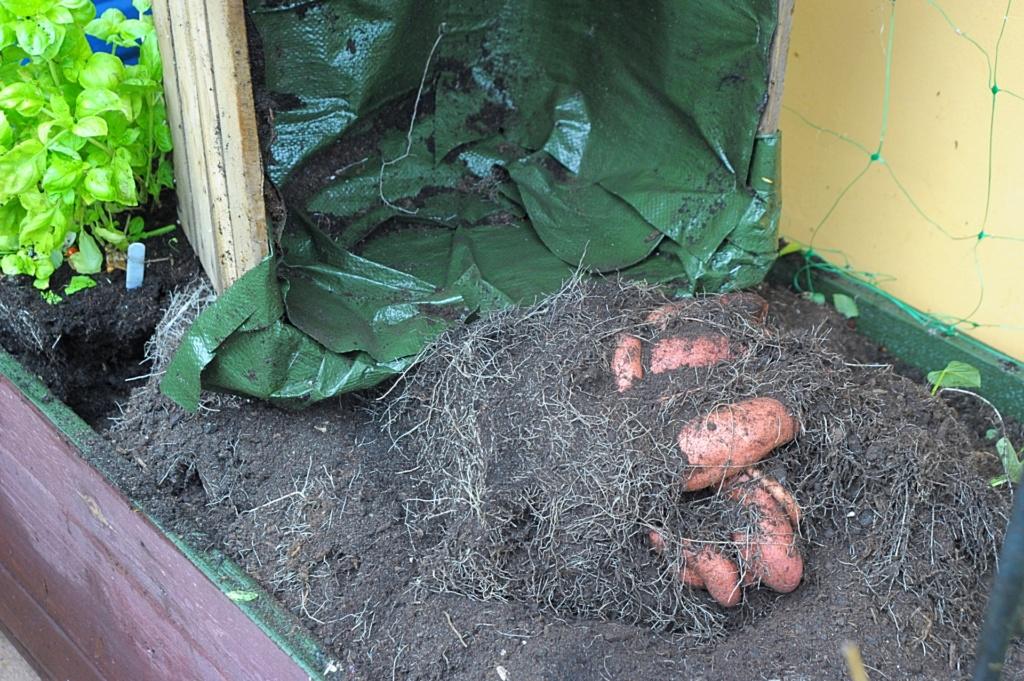 Uprawa batatów w pojemnikach