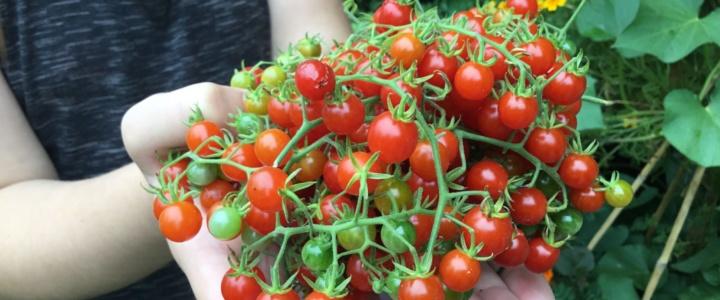 Balkonowy warzywnik w sierpniu