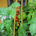 pomidor Sweet Pea