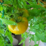 pomidor malachitowa szkatułka