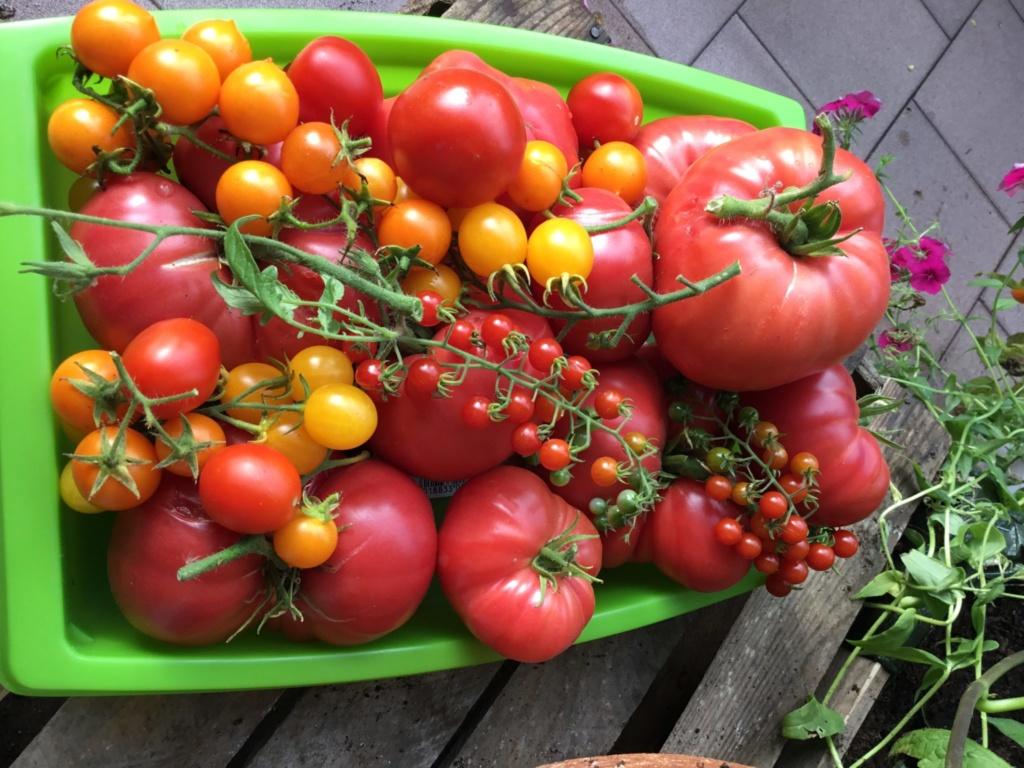 balkonowy warzywnik ostatnie zbiory pomidorów
