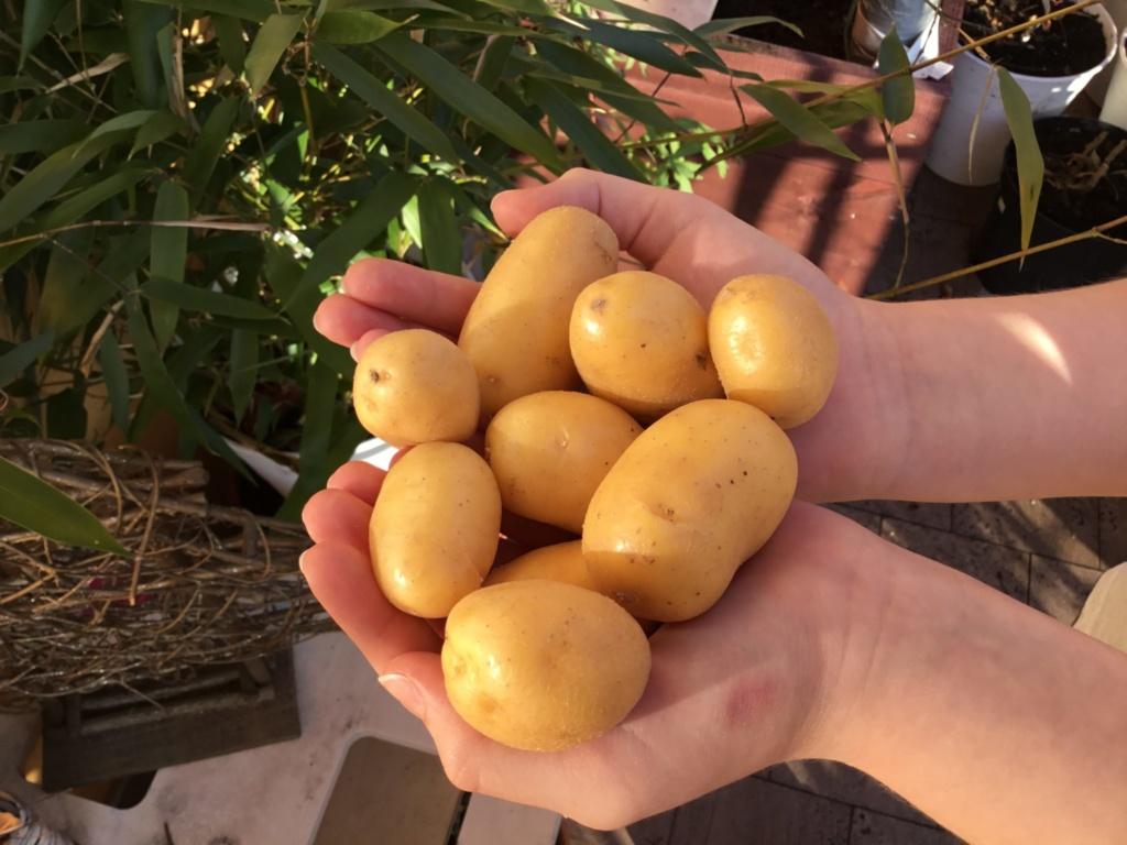 ziemniaki odmiany Jazzy