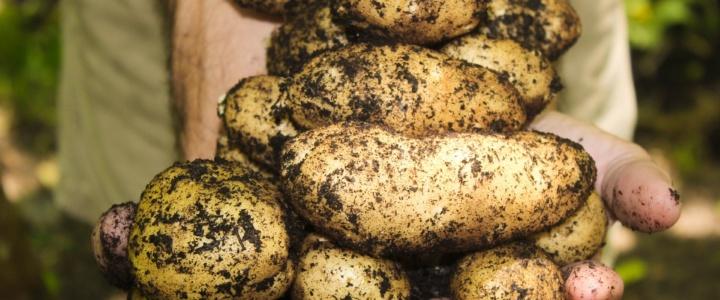 Najwcześniejsze wczesne ziemniaczki z doniczki