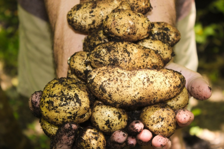 wczesne ziemniaki z doniczki