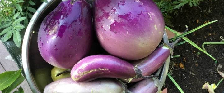 Psianka podłużna, oberżyna, bakłażan – uprawa donicowa