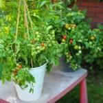 Pomidor Bajaja
