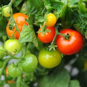 Pomidor Iditarod Red Dwarf