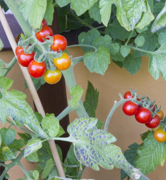 pomidor Cerise
