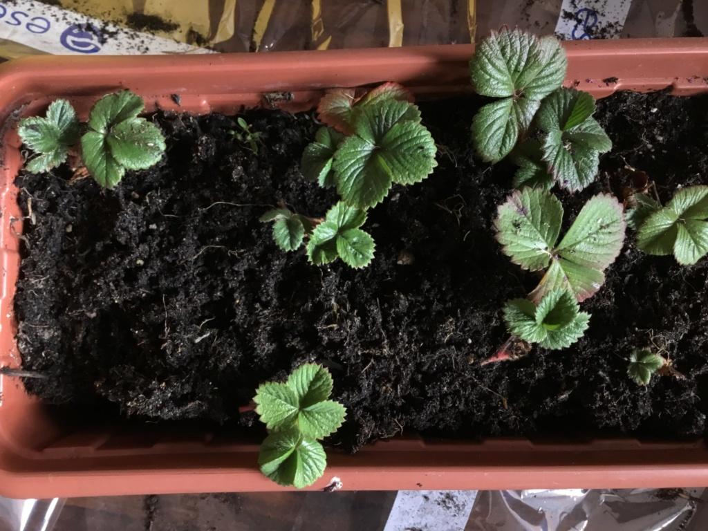 truskawki z rozłogów
