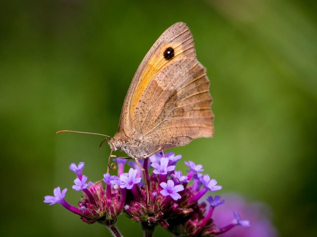 zioła takie jak oregano, macierzanka, majeranek są chętnie odwiedzane przez motyle