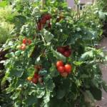 Pomidor doniczkowy Bajaja