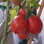 pomidor Manitoba