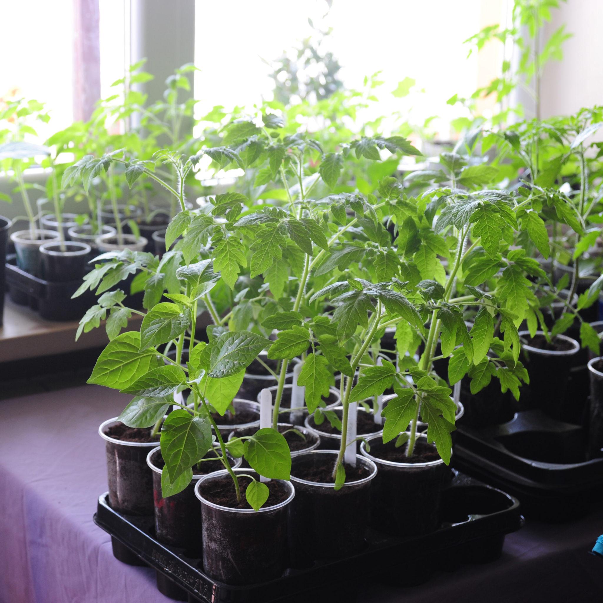 Archiwa Rozsada Pomidorów Z Balkonu Na Talerz