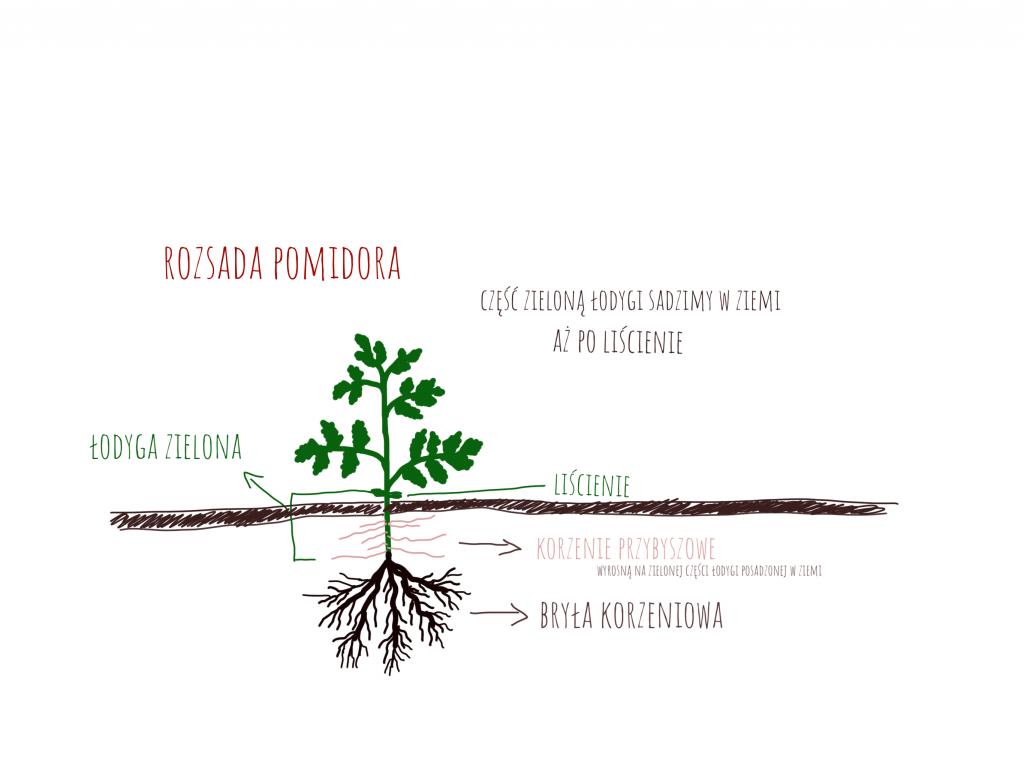 sadzenie rozsady pomidora