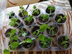 Młode rozsady bakłażanów , papryk i pomidorów