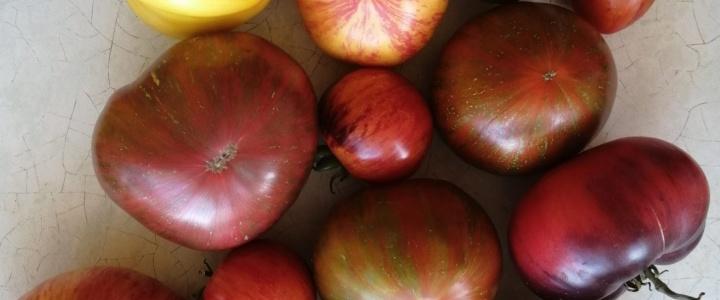 W czasie suszy…pomidory owocują