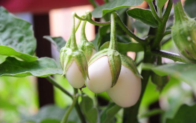 bakłażan Yellow Egg