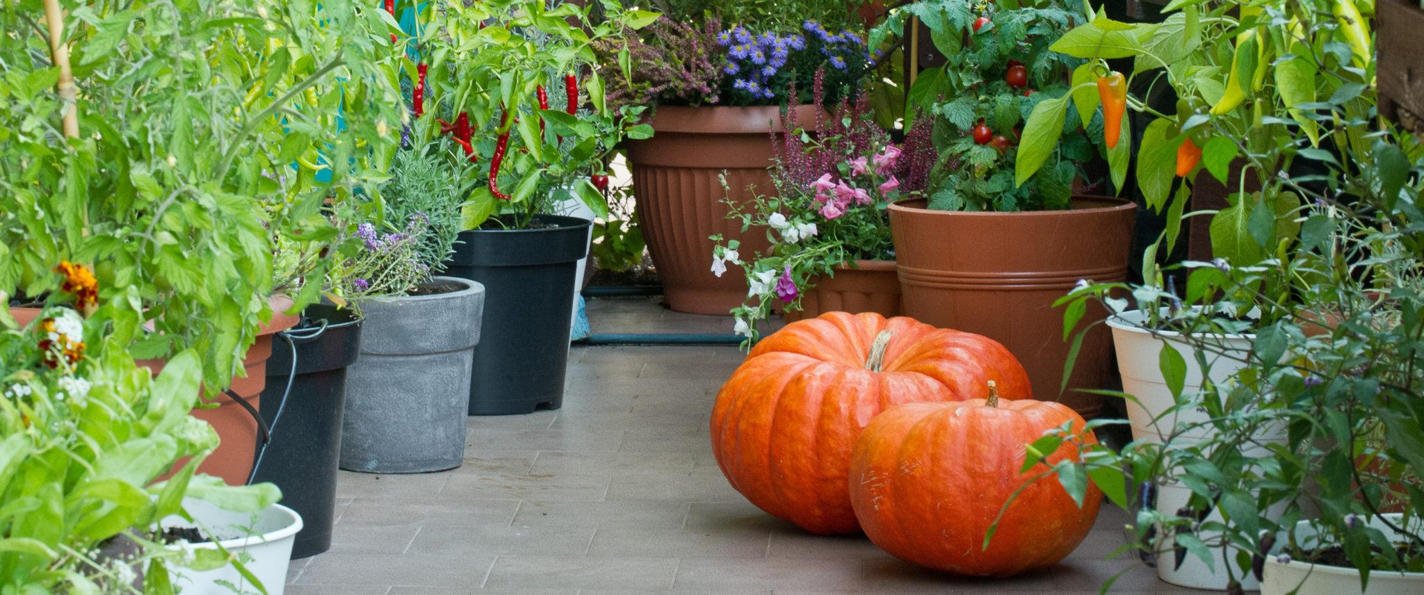 jesienne porządki w balkonowym warzywniku