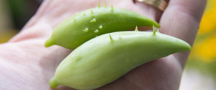 Cyklantera – dziki ogórek – zioło, warzywo, ozdobne pnącze