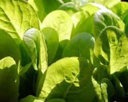 Salata-Rzymska