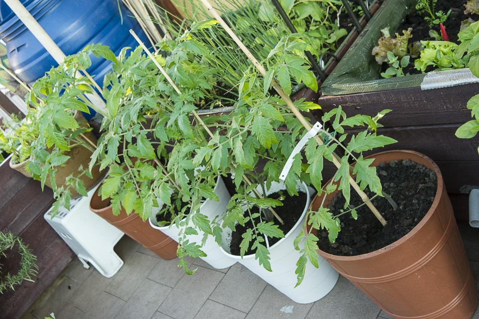 maj-pomidory donicowe