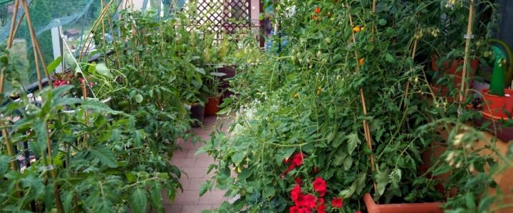 balkonowy warzywnik w czerwcu